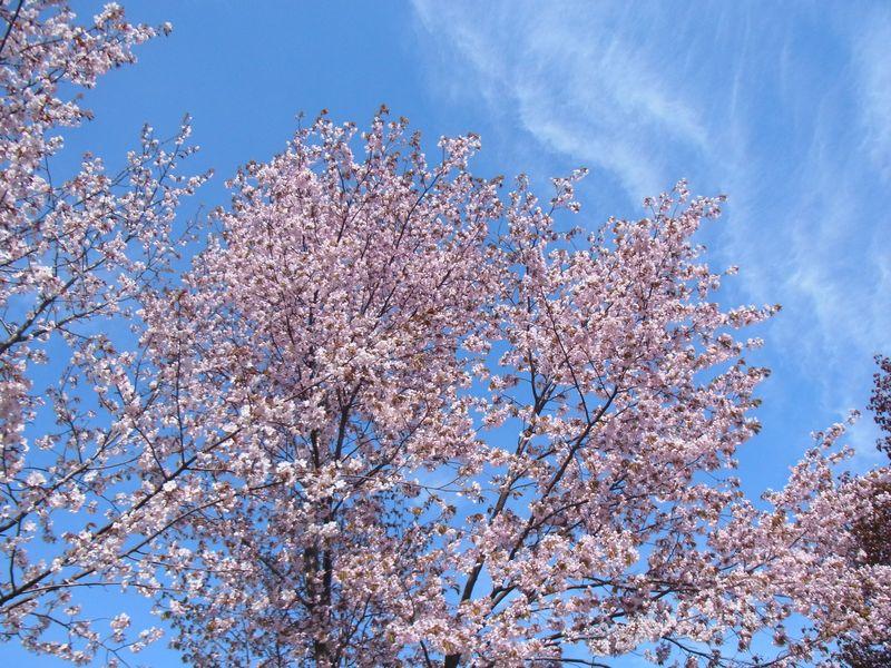 札幌近郊桜開花!お花見スポット円山公園でも開花!今だ急げ!