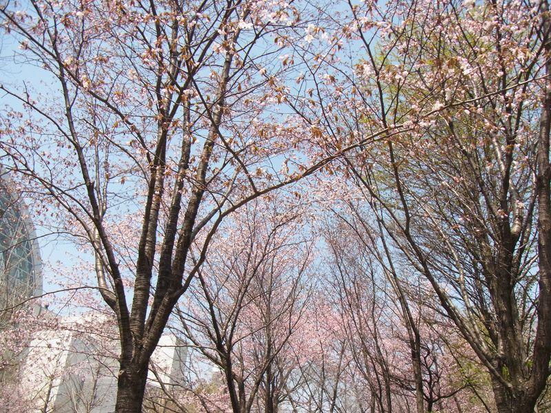 【2012桜】サッポロファクトリー横の永山記念公園の様子