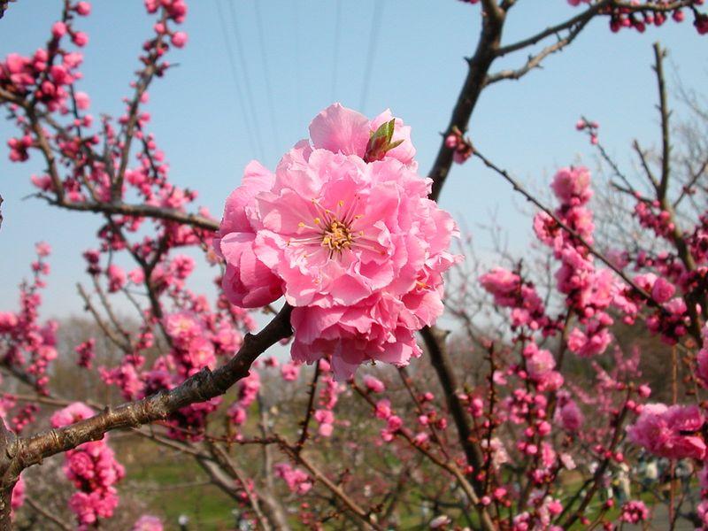北海道・札幌、梅の名所『平岡公園』は梅の香りが最高!!