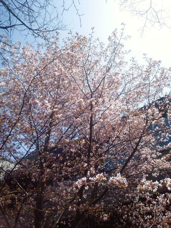 """北海道・札幌近郊""""桜""""の見れるピクニックスポット【桜名所まとめ@】"""