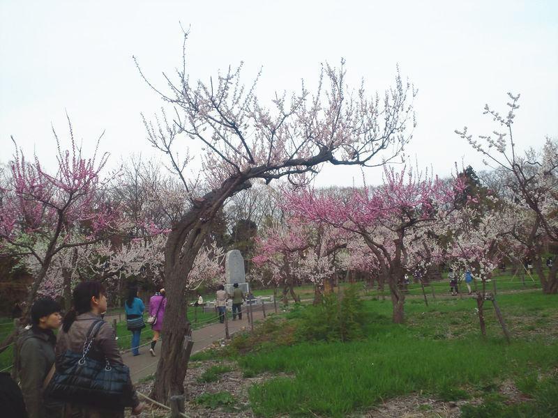 「北海道・札幌」桜の名所円山公園のお隣『北海道神宮』は「梅」が素敵!