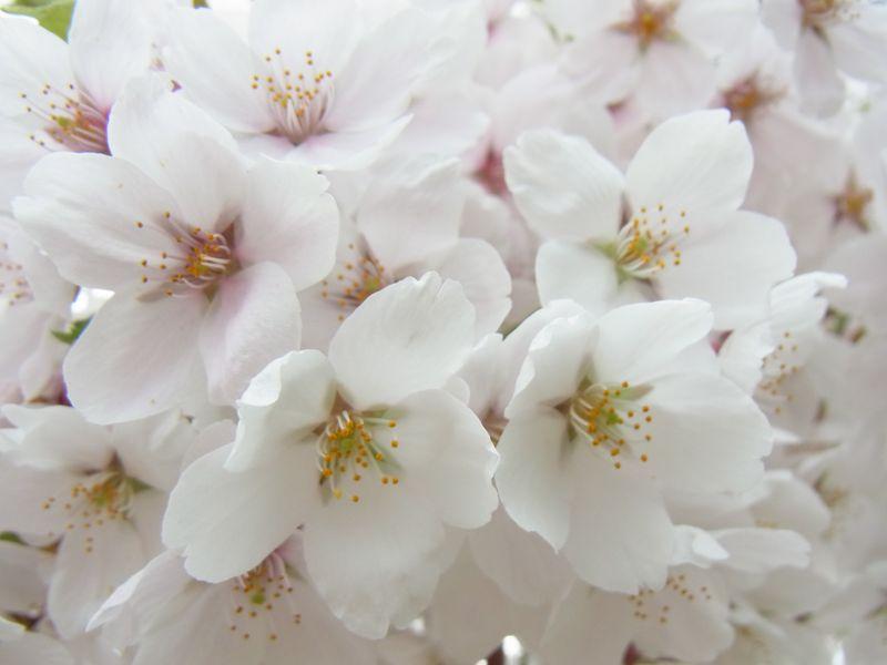 ドライブして行こう!ソメイヨシノが綺麗な桜の名所!美唄『東明公園』