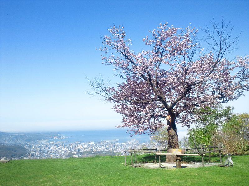 絶対写真に収めたい超絶景スポット!小樽・日本海一望『恋する桜』【天狗山】