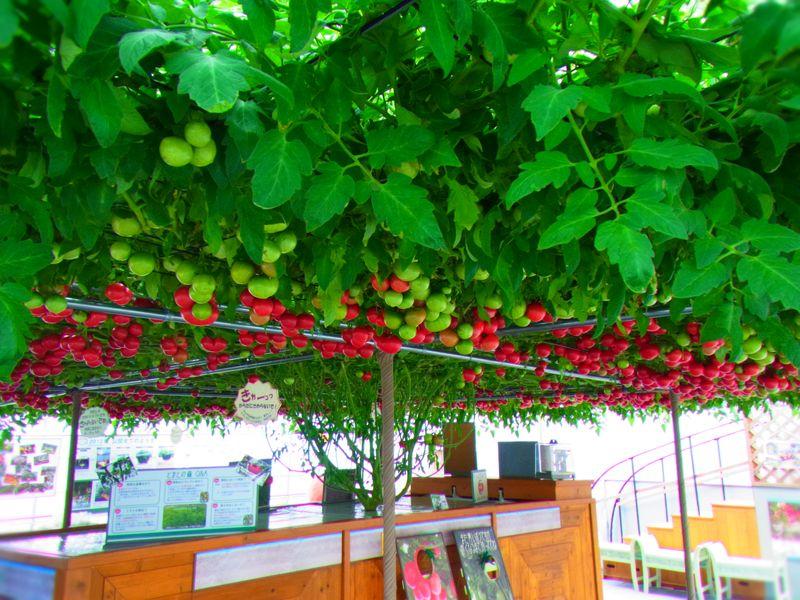【トマトの森】えこりん村とまとの森に行ってきた!一本の苗からトマトがいーっぱい!!