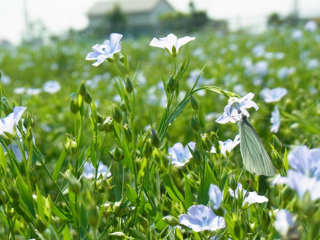 石狩・当別の『亜麻畑』は超レアだった。可憐な花が見れるのは午前中の北海道だけ!
