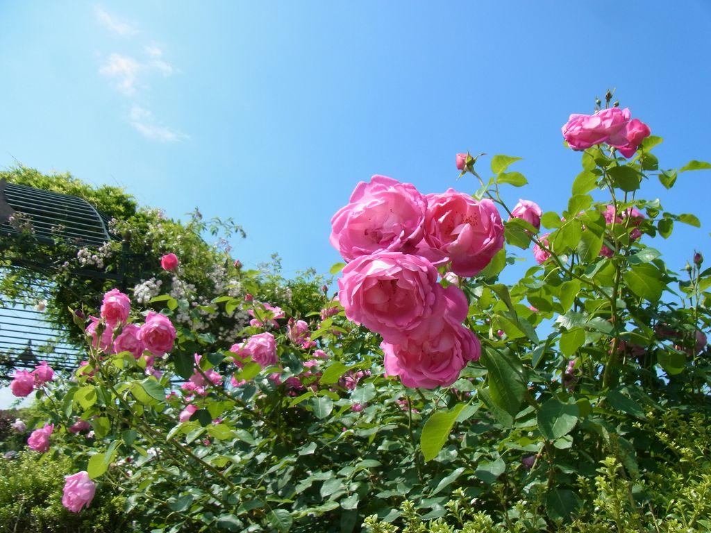えこりん村『バラ祭り』はバラが香って素敵なバラ貴族になるチャンス