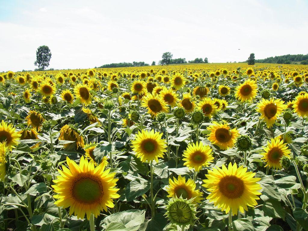 日本一のひまわり畑『北竜町ひまわりの里』で夏満喫!夏はラベンダーだけじゃない!