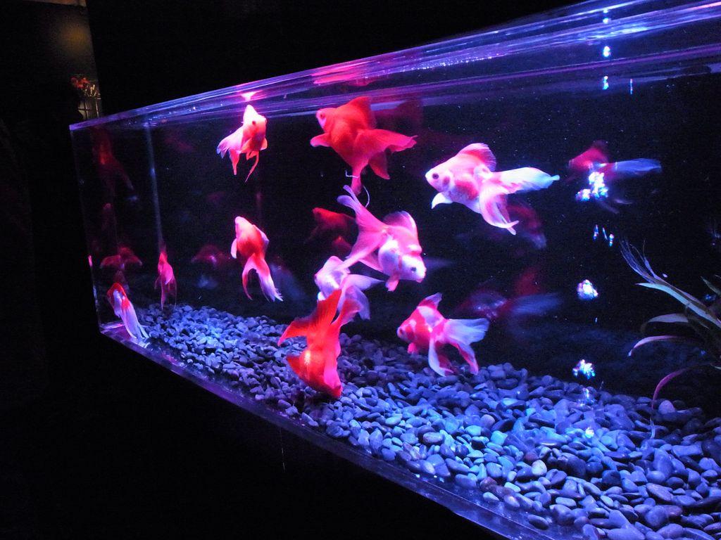 札幌ファクトリー金魚なイベント『アートアクアリウム』はナイトタイムでバーを満喫するのがおすすめ!