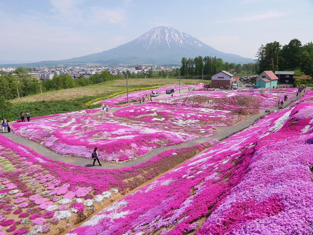 倶知安「三島さんちの芝ざくら」2015今年もパワーアップして満開宣言!